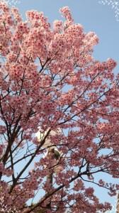 20150403桜2-thumb-300x533-3667